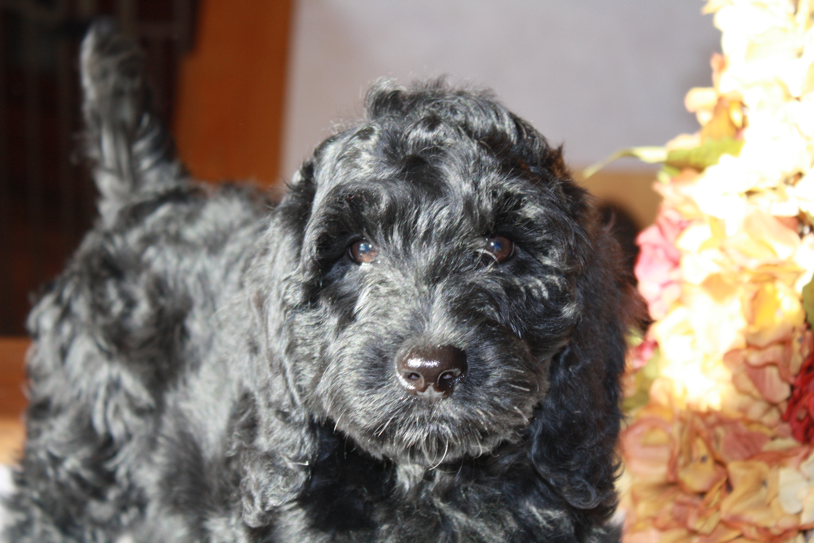 Puppies Available At Fernridge Labradoodles